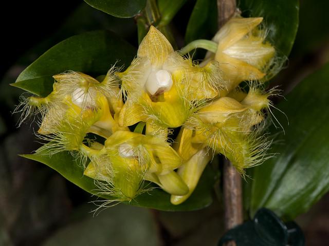 dendrobium roslii