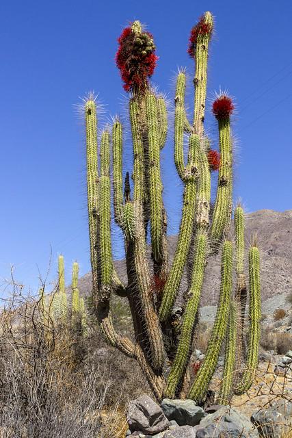 Tristerix aphyllus parasitizing Eulychnia acida, Coquimbo Region, Chile