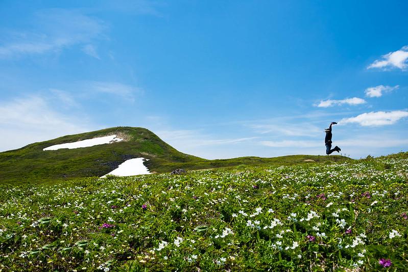 焼石岳のハクサンイチゲ