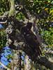 Madagascar Cuckoo-Hawk - Aviceda madagascariensis by Andy Bunting Photography