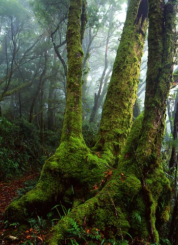 Antarctic Beech Tree Lamington QLD | by Mark Wassell