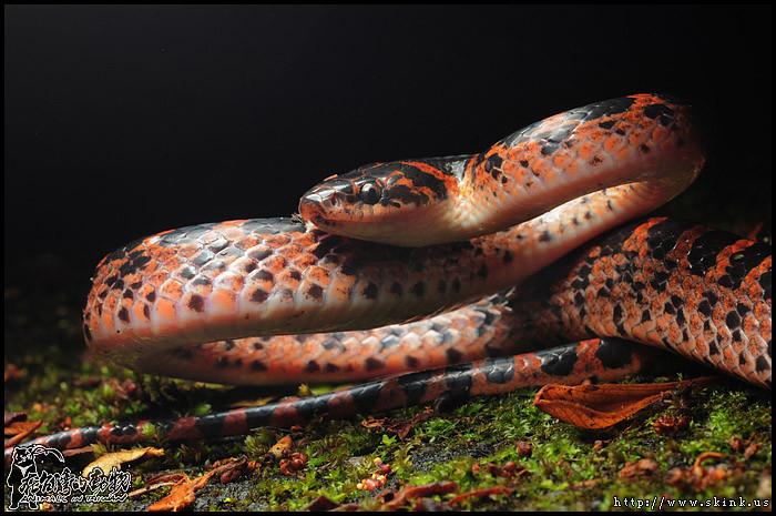 紅斑蛇 (2012.03.17)