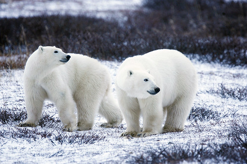 polar bear pair | by USFWS Headquarters