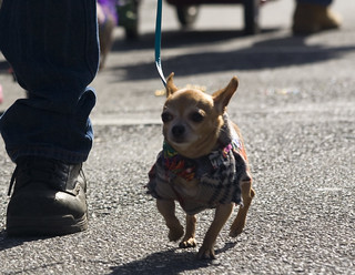 Barkus Dog Parade Chihuahua | by storyvillegirl