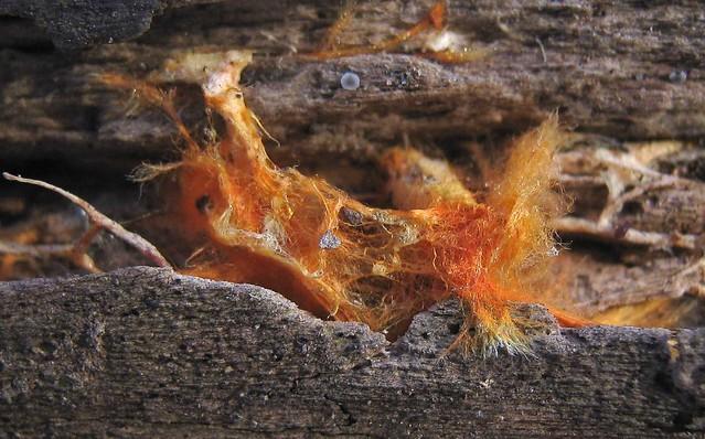 Orange Mycelia...