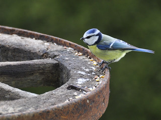 Blue Tit on wheel | by keith ellwood