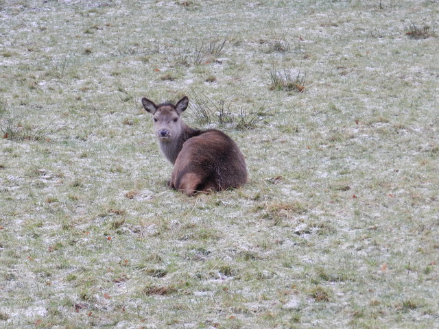 Young Deer, Ardgay, Sutherland, January 2012