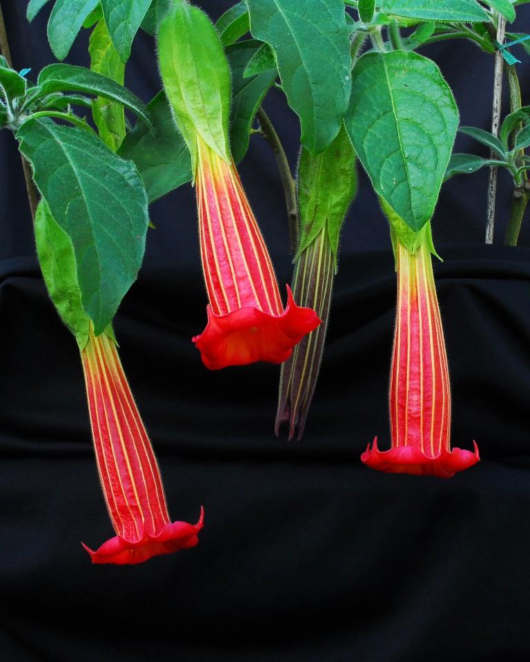Brugmansia sanguinea (from Mendocino)