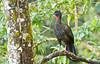 Crested Guan (Penelope purpurascens) - Arenal - Costa Rica by birdingbilly