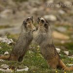 Marmot dance