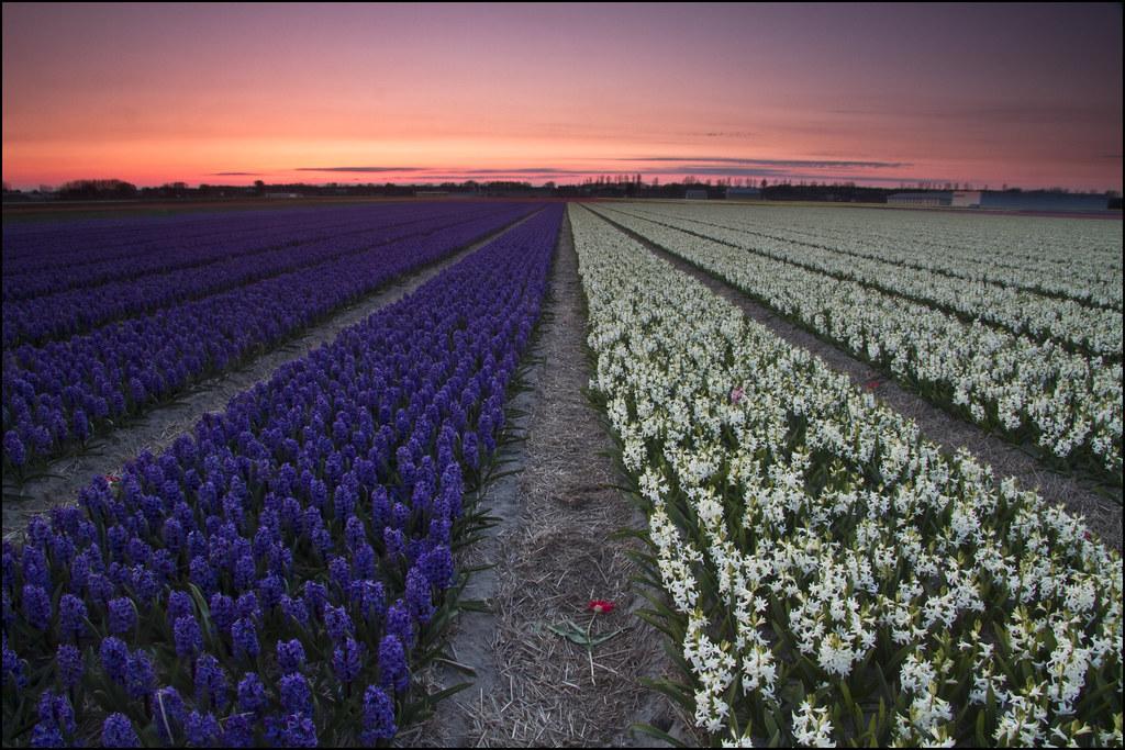 Flower fields, Lisse, Netherlands