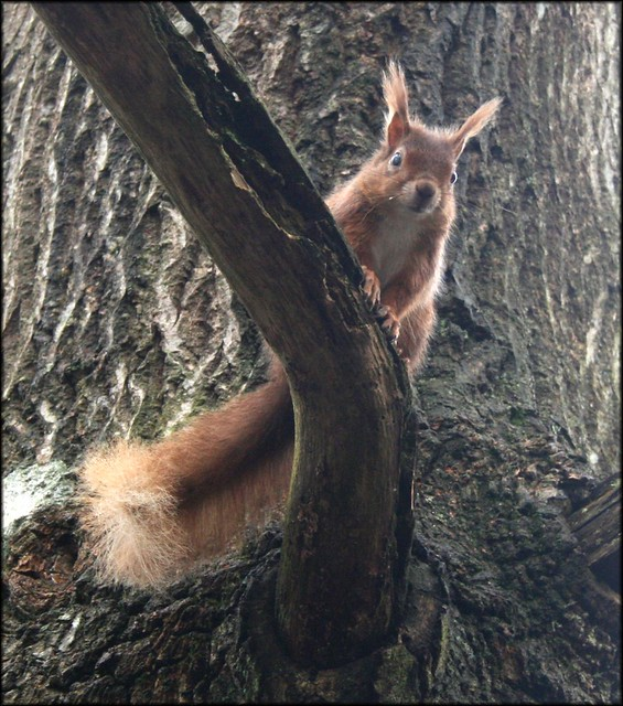 Red squirell on Brownsea Island
