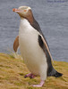 Yellow-eyed Penguin DSC_0591 by Mary Bomford