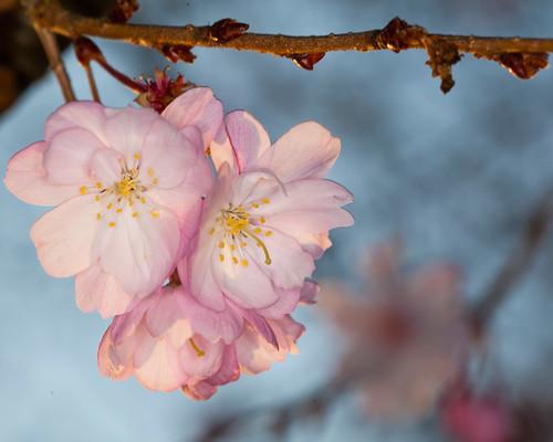 flower tree sunrise spring cherryblossom ghholtphotography
