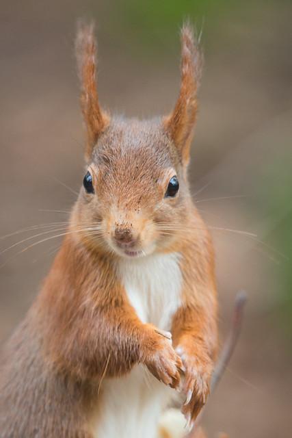 De rode eekhoorn, The Eurasian red squirrel (Sciurus vulgaris)