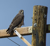 Swainson's Hawk (Buteo swainsoni) by cv.vick