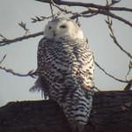 Thu, 05/01/2014 - 11:39am - Snow Owl