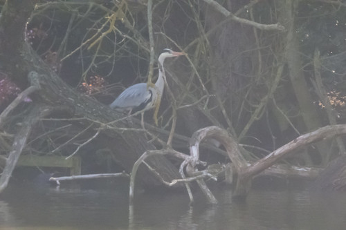 Heron courtship, early May