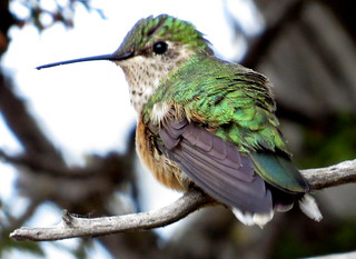 Broad-Tailed Hummingbird | by Allen Gathman
