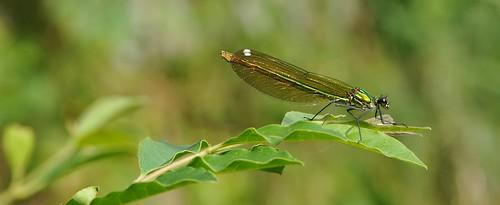 macro verde green colors nikon dragonfly colori libellula