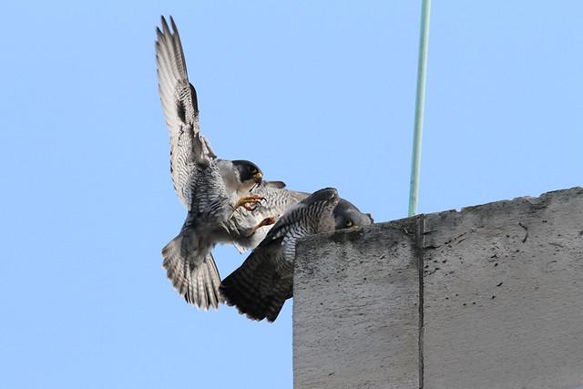 Peregrine Falcon (Falco peregrinus) mating 11th March, Manchester,  2012 A.Dancy CR 090a