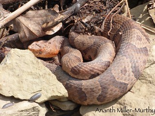 Northern Copperhead | by Ananth Miller-Murthy