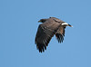 Common Black Hawk (Buteogallus anthracinus by TG23-Birding in a Box