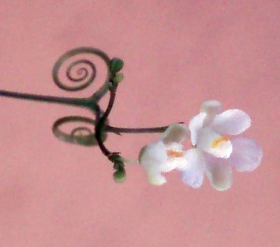 Cardiospermum halicacabum 6811933894_d27653a39b_o