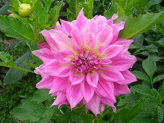 Dahlia NoID #13 | by Mary_on_Flickr
