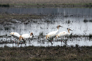 Juvenile Whooping Cranes Forage on Wheeler NWR | by USFWS/Southeast