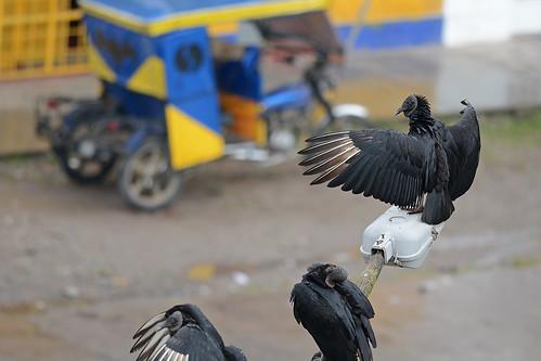 black negro vulture buitre americano coragyps atratus cathartidae gallinaso