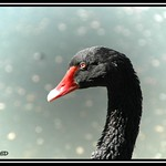 Black swan in de viander