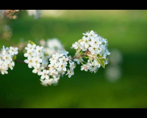 flower macro tree sc spring blossom conway southcarolina bloom bradfordpear nikonafnikkor85mmf14d