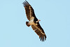 white-headed vulture by Wildlife photos by Paul Donald