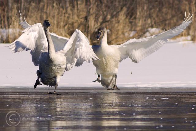 MAP9590 Swan Ice Follies