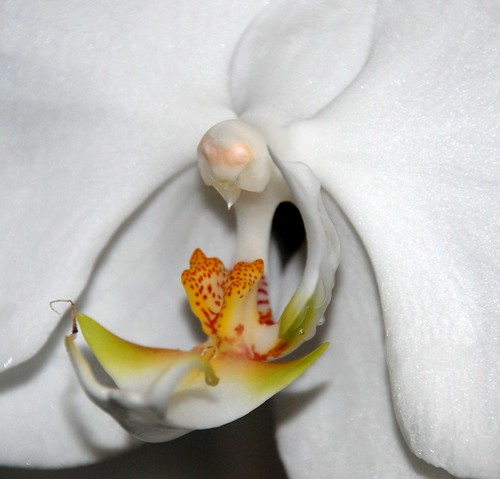 orchid white macro extrememacro exotic flower blossom bloom krohnsconservatory cincinnatioh thegalaxy coth5 mimamorflowers tplringexcellence dblringexcellence eltringexcellence jennypansing explored explore