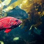 バーミリオン ロックフィッシュ Vermilion rockfish