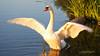 Mute Swan by RuudVisser