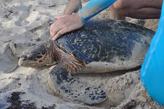 La gent de TAMAR es dedica a protegir i estudiar les tortugues