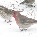Purple Finch (C. p. purpureus) with House Finch