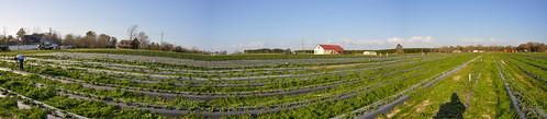 autostitch panorama usa strawberry nikon baker unitedstates florida kayla erdbeeren okaloosacounty d5000 fisherbray akersofstrawberries