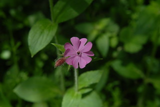 Red Campion | by PaulG's Photos
