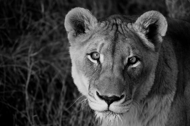 Panthera leo b&w