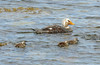 Flying Steamer Duck Family by Peppar Photos
