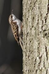 2012 02 25_treecreeper1