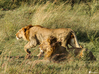 And people say male lions don't hunt... | by Azhar Khan (akwildshots)