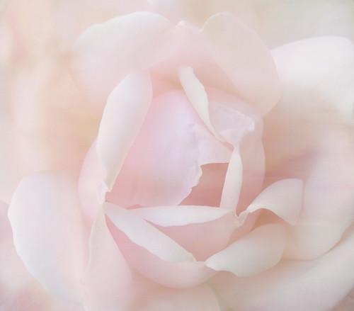 ♥  Charlie's Rose  ♥ | by rubyblossom.