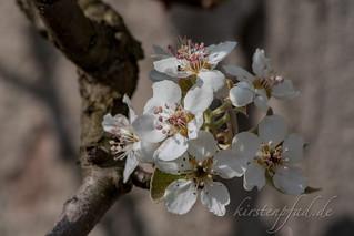 Birnblüte | by Blueturtles_