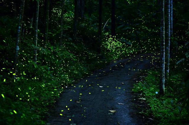 螢火蟲(火金姑)fireflies
