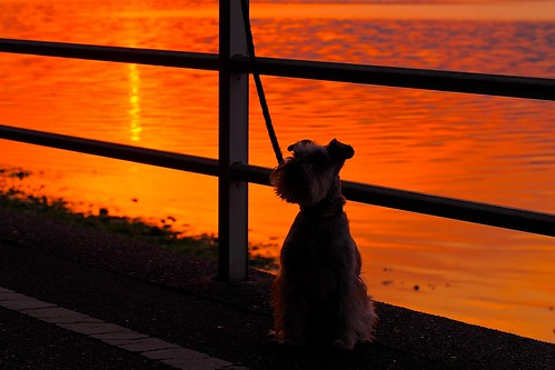 sunset dog japan march olympus 夕日 rin miniatureschnauzer 2014 浜名湖 hamanako em5 日の入り ミニチュアシュナウザー 三ヶ日町 olympusm60mmf28macro p3240045